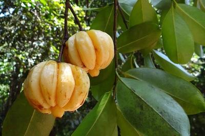 ガルシニアの果実