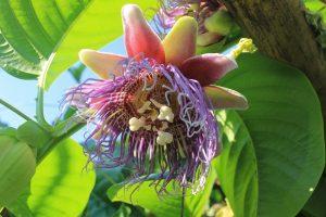 パッションフルーツの花