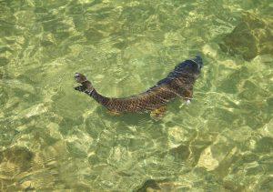 鯉(こい)の効能とおすすめレシピ