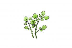 クレソン(オランダガラシ)の効能とおすすめレシピ