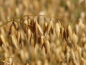 えん麦の効能とおすすめレシピ