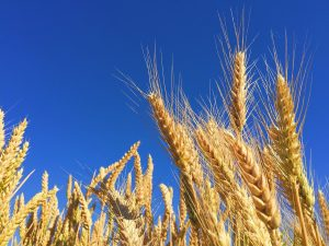 ライ麦の効能とおすすめレシピ