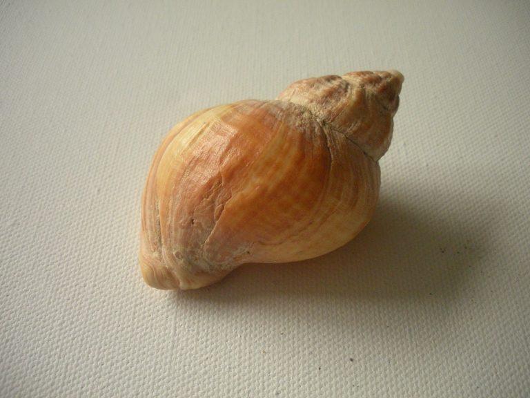つぶ貝の効能とおすすめレシピ