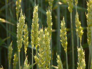 小麦胚芽の栄養とおすすめレシピ、食品成分表