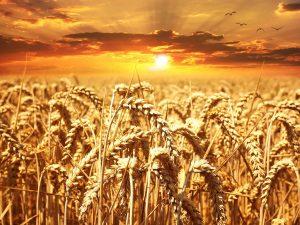 小麦たんぱくの栄養とおすすめレシピ、食品成分表