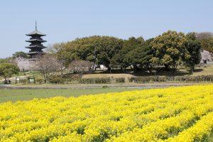 菜の花畑のある日本の風景