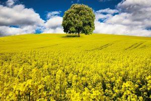 菜の花(ナタネ)はちみつの特徴と効能、おすすめ菜の花はちみつ3種