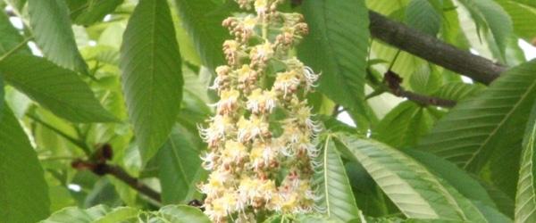 栃の木の花