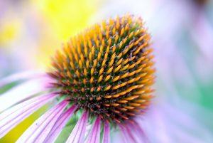 エキナセアの可憐な花