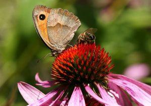 エキナセアと蝶と蜂