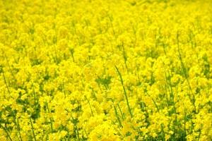 菜の花(菜ばな/なばな)の効能とおすすめレシピ、食品成分表