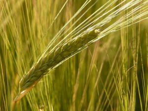 大麦の効能とおすすめレシピ、食品成分表