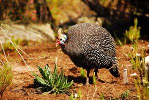 ホロホロ鳥の肉の効能とおすすめレシピ、食品成分表