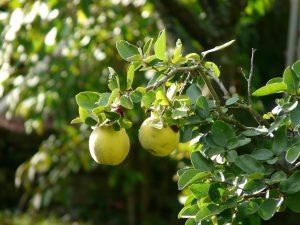 かりん(花梨)の効能とおすすめレシピ、食品成分表