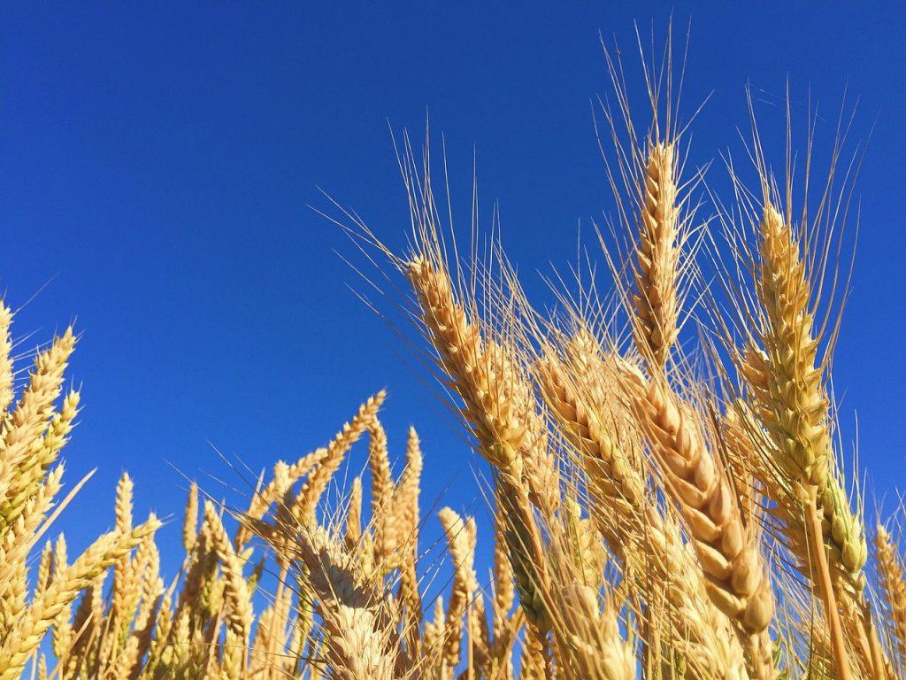 ライ麦の効能とおすすめレシピ、食品成分表
