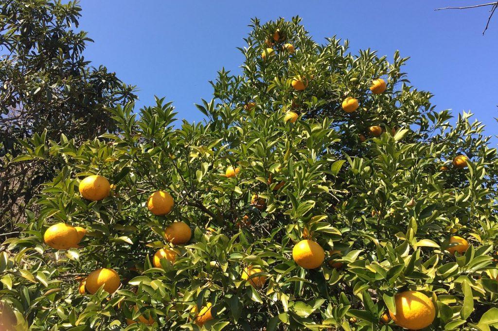 夏みかんの効能とおすすめレシピ、食品成分表