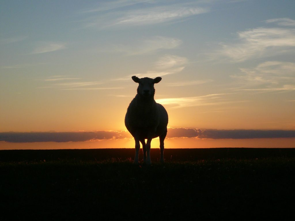 「羊の肉はくさい」は昔の話!?