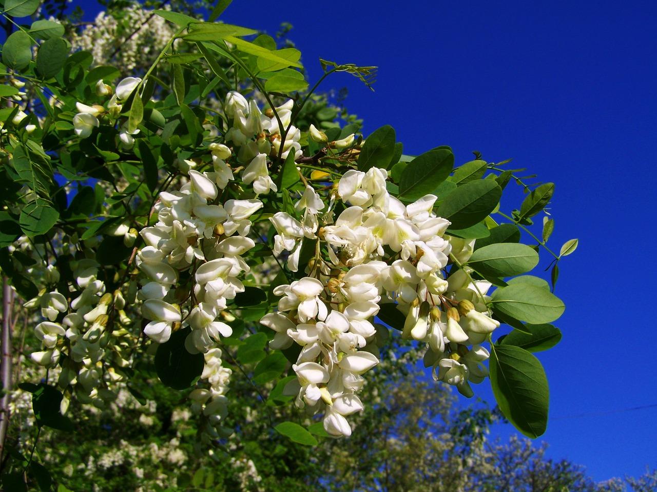 アカシアはちみつの特徴と効能、おすすめアカシアはちみつ6種