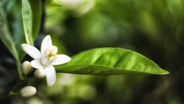 オレンジの白い花