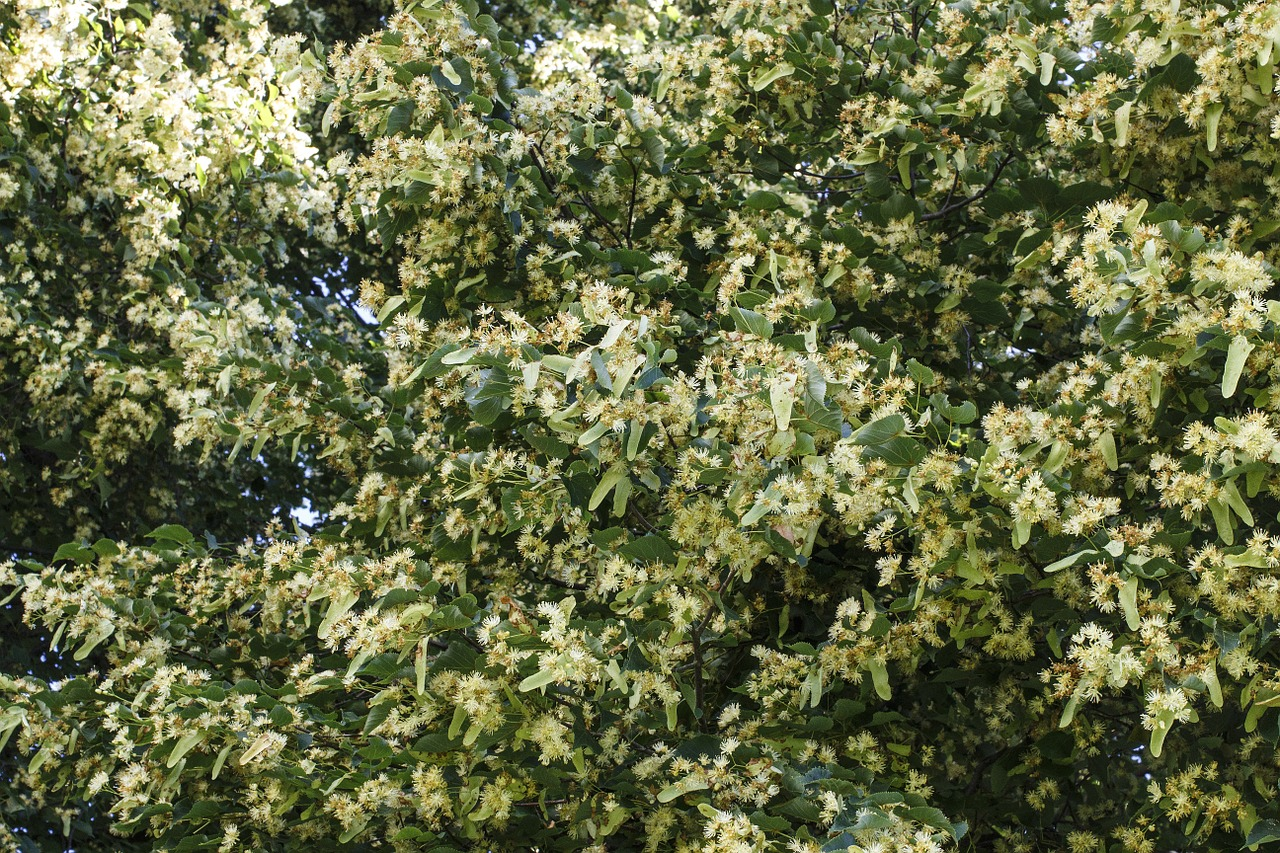 菩提樹(シナノキ、リンデン)はちみつの特徴と効能、おすすめ菩提樹はちみつ4種