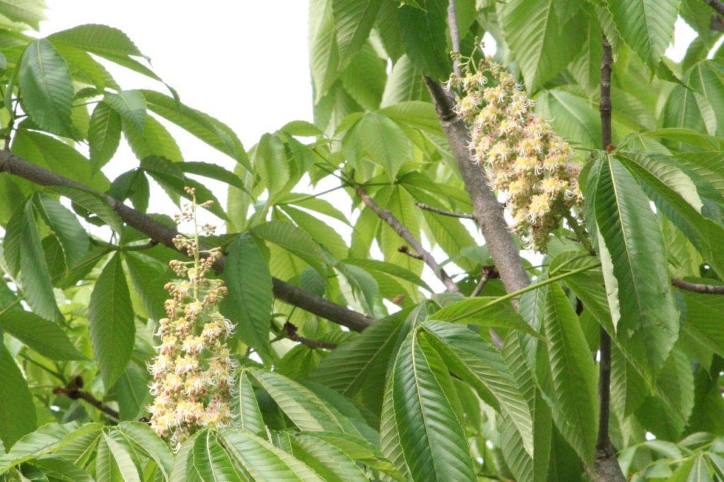 トチ(マロニエ)はちみつの特徴と効能、おすすめトチはちみつ6種