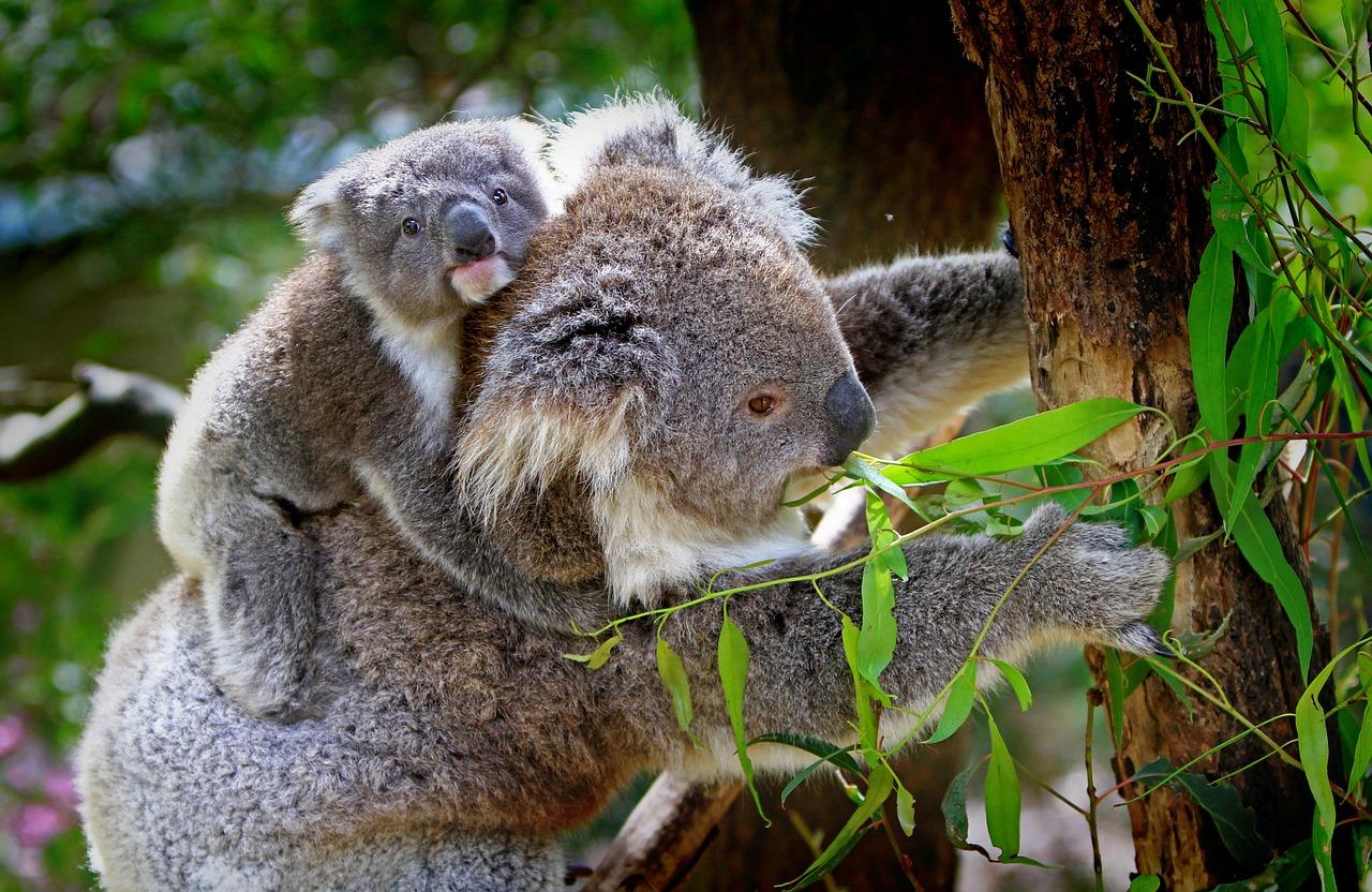コアラとユーカリ