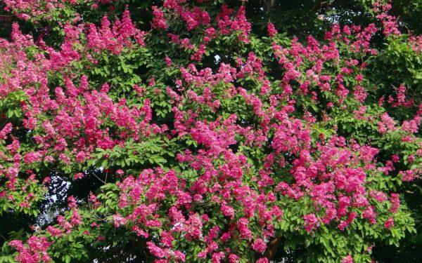 バナバの花と木